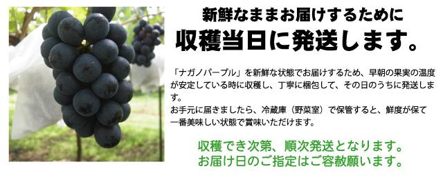長野県産田牧さんのナガノパープルは、収穫当日に発送するため、新鮮なままお届けできます。
